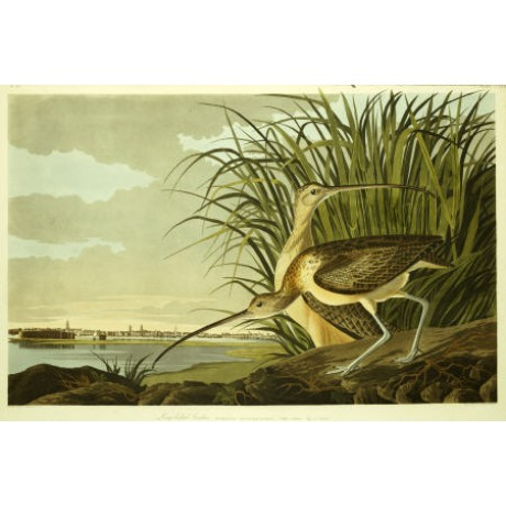 "JOHN JAMES AUDUBON ""Long Billed Curlew"" print NEW choose SIZE, from 55cm up, NEW"