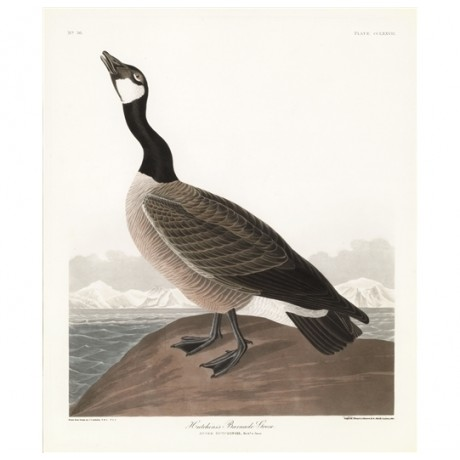ROBERT HAVELL Hutchin's Barnacle Goose BIRD honk neck sea mountains NEW CANVAS