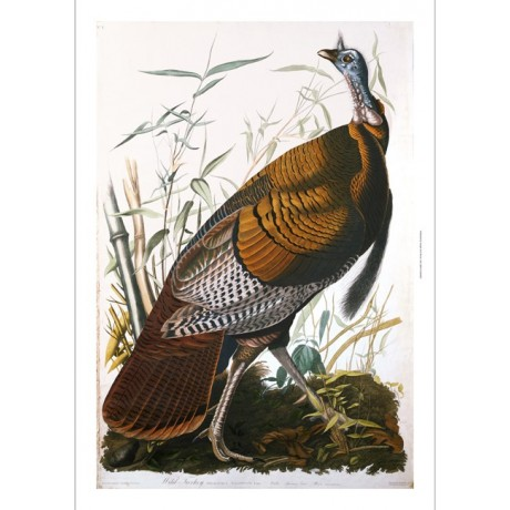 "DECORATIVE CANVAS PRINT ""Male Wild Turkey"" NEW choose SIZE, from 55cm up, NEW"