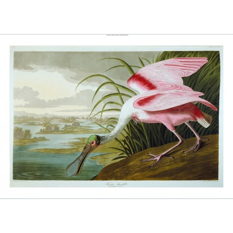 "DECORATIVE CANVAS PRINT ""Roseate Spoonbill"" NEW choose SIZE, from 55cm up, NEW"