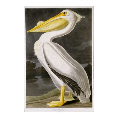 "DECORATIVE CANVAS PRINT ""American White Pelican"" NEW various SIZES available"