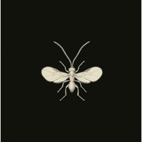 """STRIKING CANVAS PRINT of """"Parasite Holly Fly"""" DETAILED anatomy hairs FRED ENOCK"""