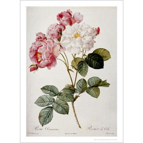 "PIERRE JOSEPH REDOUTE ""Damask Rose"" flower ON CANVAS various SIZES available"