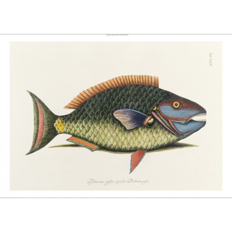 "MARK CATESBY ""Parrot Fish"" animal print ON CANVAS choose SIZE, from 55cm up, NEW"