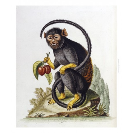 ANONYMOUS Black Monkey From The West Indies RARE Print various SIZES, BRAND NEW