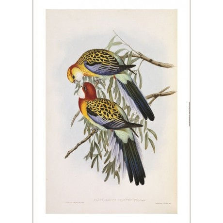 "JOHN GOULD ""Eastern Rosella"" Bird RARE ON CANVAS choose SIZE, from 55cm up, NEW"