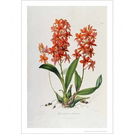 "JOHN LINDLEY ""Star Orchid. Epidendrum Vitellinum"" Print various SIZES, BRAND NEW"