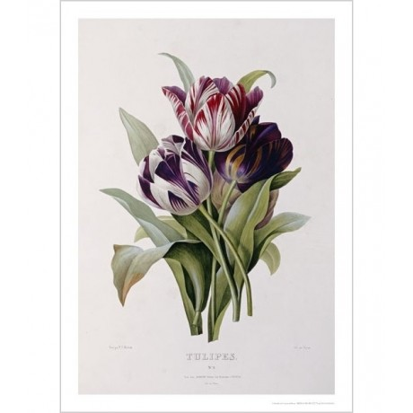 "PIERRE JOSEPH REDOUTE ""Tulips"" CANVAS ART ! CANVAS choose your SIZE, from 55cm"
