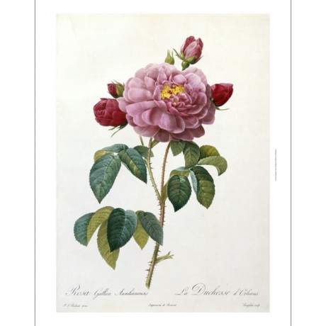 NEW CANVAS PRINT Rosa Gallica Aureliansis STUNNING rose detail REDOUTE & THORY