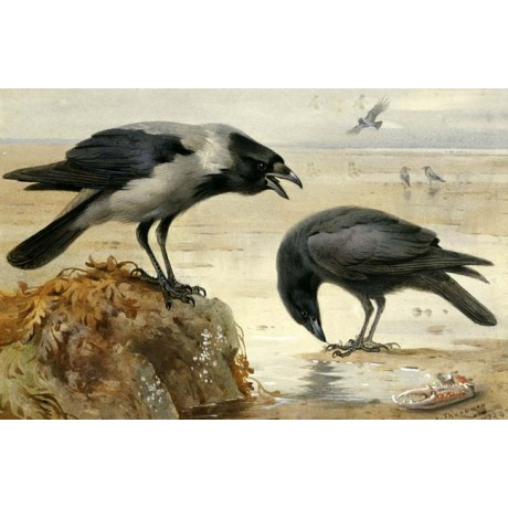 "ARCHIBALD THORBURN ""Hooded Crow and Carrion Crow"" CLAW beach birds CANVAS PRINT"