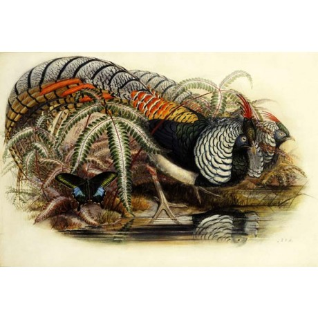 HENRY CONSTANTINE RICHTER Lady Amherst's Pheasant FEATHERS butterfly lake NEW!