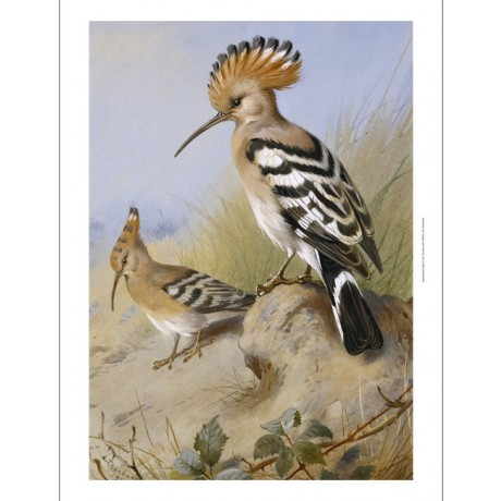 "ARCHIBALD THORBURN ""Hoopoes"" CRESTED bird standing alert on a rock CANVAS PRINT"