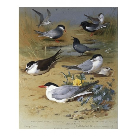 "ARCHIBALD THORBURN ""Various Terns"" new PRINT on canvas! various SIZES, BRAND NEW"