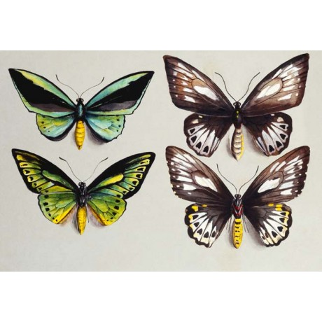 "FINELY DETAILED CANVAS PRINT ""Four Birdwing butterflies"" MARIAN ELLIS ROWAN"
