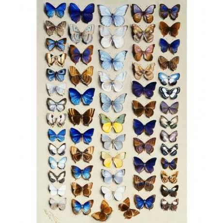 "STRIKING NEW PRINT ""A packed plate of sixty-two butterflies"" MARIAN ELLIS ROWAN"