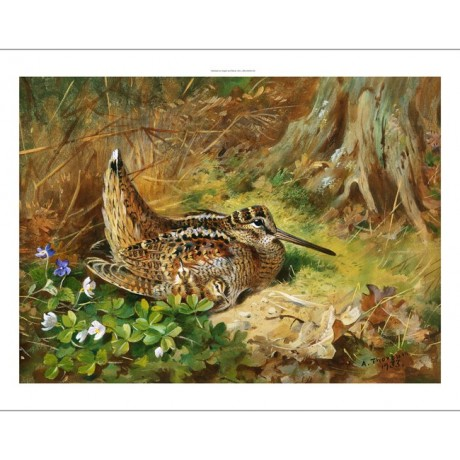 "DELIGHTFUL NEW CANVAS PRINT ""A Woodcock and Chicks"" birds ARCHIBALD THORBURN"