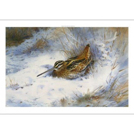"THORBURN ""A Snipe In The Snow"" PLUMAGE nesting beak white close-up CANVAS PRINT"