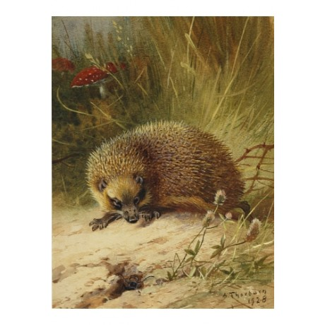 "ARCHIBALD THORBURN ""A Hedgehog"" new print on CANVAS! various SIZES available"