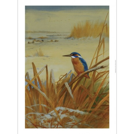 "Archibald Thorburn ""A Kingfisher Amongst Reeds in Winter"" bird perched frozen"