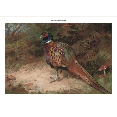ARCHIBALD THORBURN Cock and Hen Pheasant birds SPORT feathers toadstool CANVAS