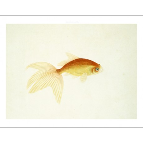 "CHINESE SCHOOL ""Goldfish"" CURIOSITY fin swimming golden metallic CANVAS PRINT"