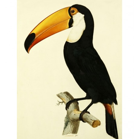 "JACQUES BARRABAND ""The Toco Toco Toucan"" HUMOUR beak yellow NEW CANVAS PRINT!!!"